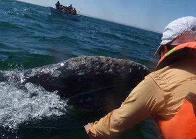 Petting a Gray Whale and Calf