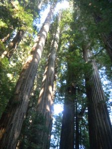 Boy Scout Tree Hike - Redwood Forest